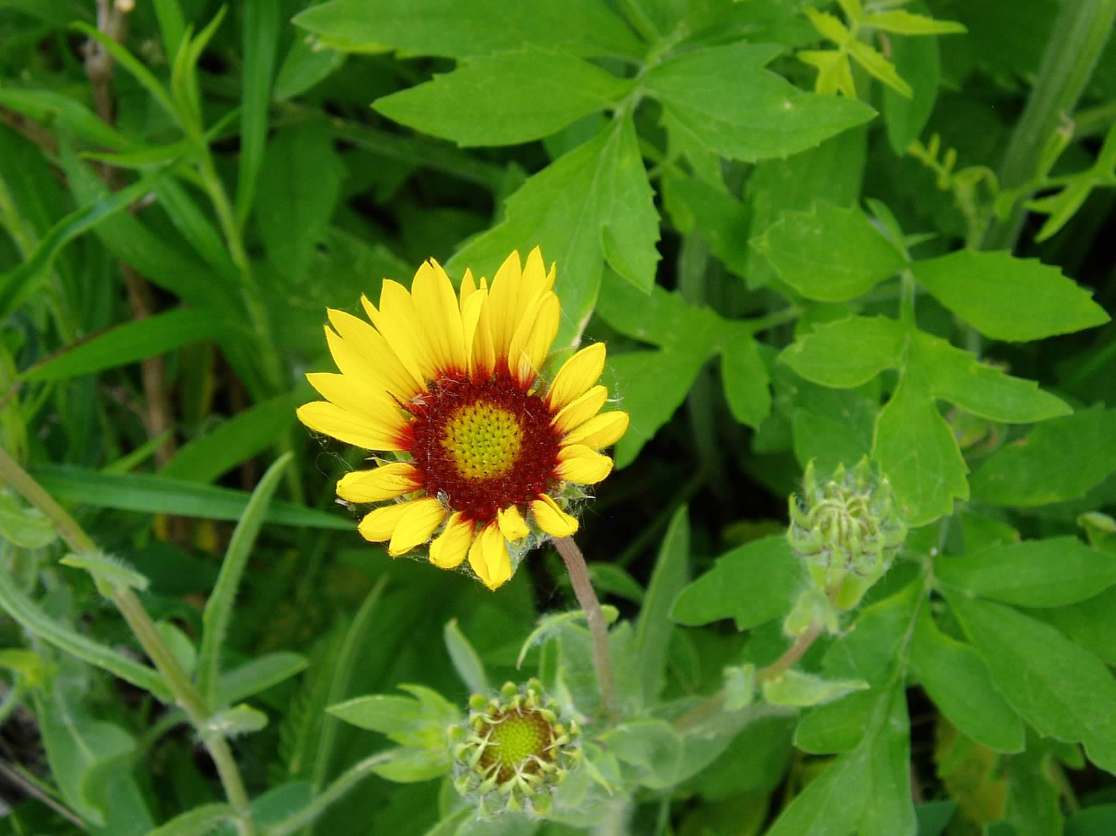 Pictures of blanket flower 69 best Blanket flowers images on Pinterest Comforters, Blankets