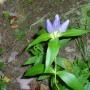 Bottle Gentian