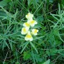 Butter-and-Eggs / Yellow Toadflax