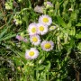 Common Daisy Fleabane