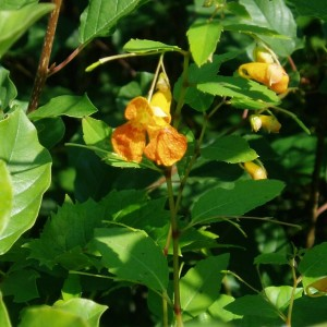 Spotted Jewelweed / Touch-me-not