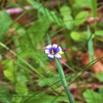 Narrow-leaved Blue-eyed grass