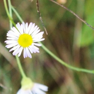 False  Aster / Doll's Daisy