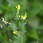 Melilotus officinalis