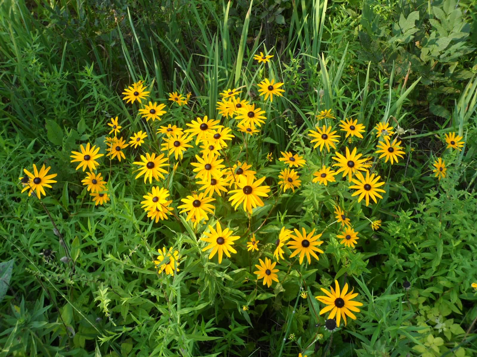 Black eyed susan pere marquette rail trail wildflowers Black eyed susans