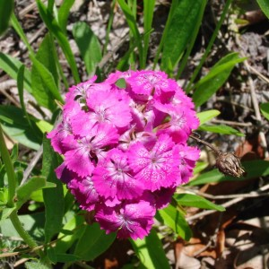 Wild Sweet William 2
