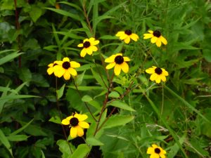 Thin-leaved Coneflower re