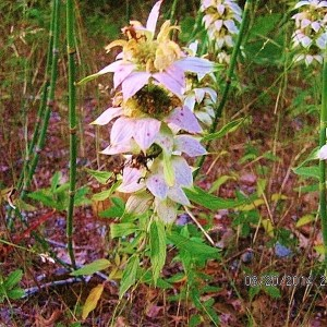 Spotted Bee Balm / Horsemint