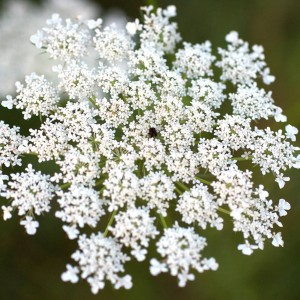 Queen Anne's Lace / Wild Carrot